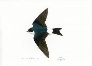 Hirondelle de fenetre - Alban Larousse